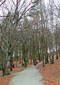 the path that diverts through the beech trees in Valandskogen